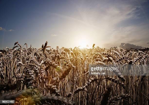 Sun on horizon behind wheat field