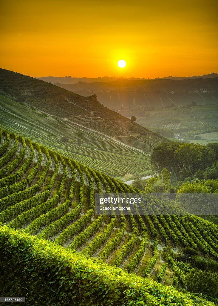 Sun on the vineyards