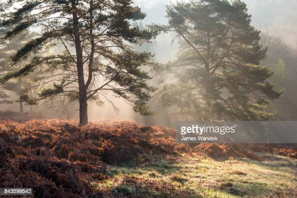 Sun rays breaking through Scots pines at dawn