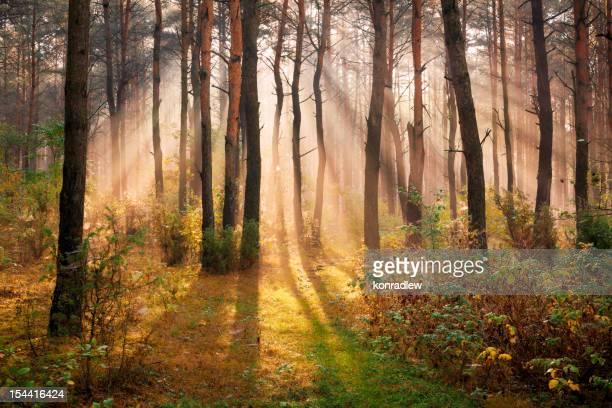 Sun Rays penetrating Foggy Autumn Forest