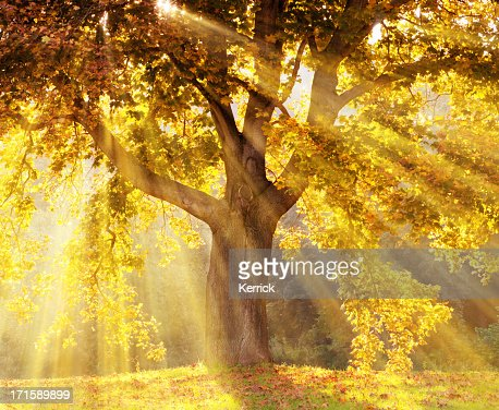Sun rays shining through a tree with yellow leaves : Stock Photo