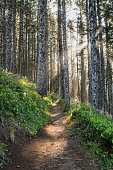 Sun Rays Through Pine Forest with winding trail