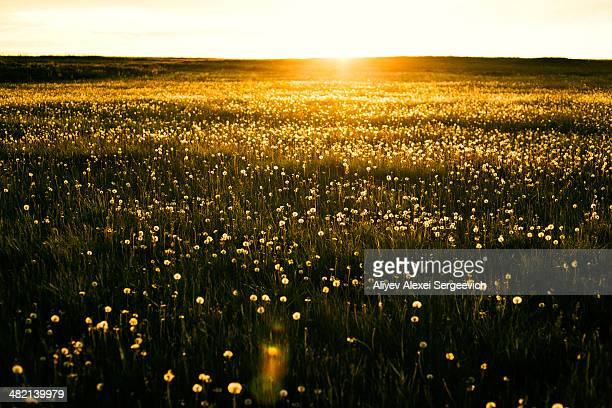 Sun rising over field of flowers