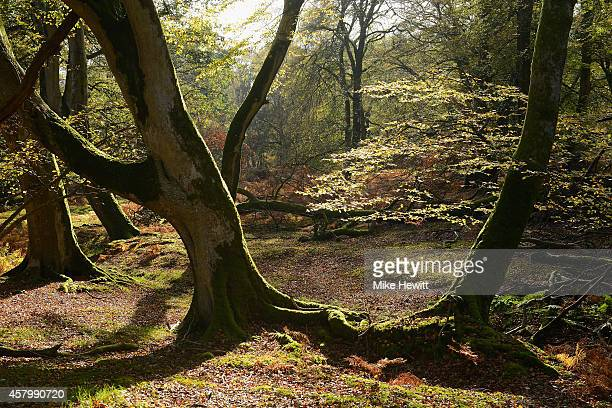 Sun shines over the trees during the autumn season in the New Forest on October 28 2014 in Hampshire England As the leaves change from green to...