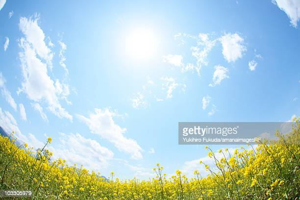 Sun shining in the sky above a field of oilseed rape blossoms. Iiyama, Nagano Prefecture, Japan