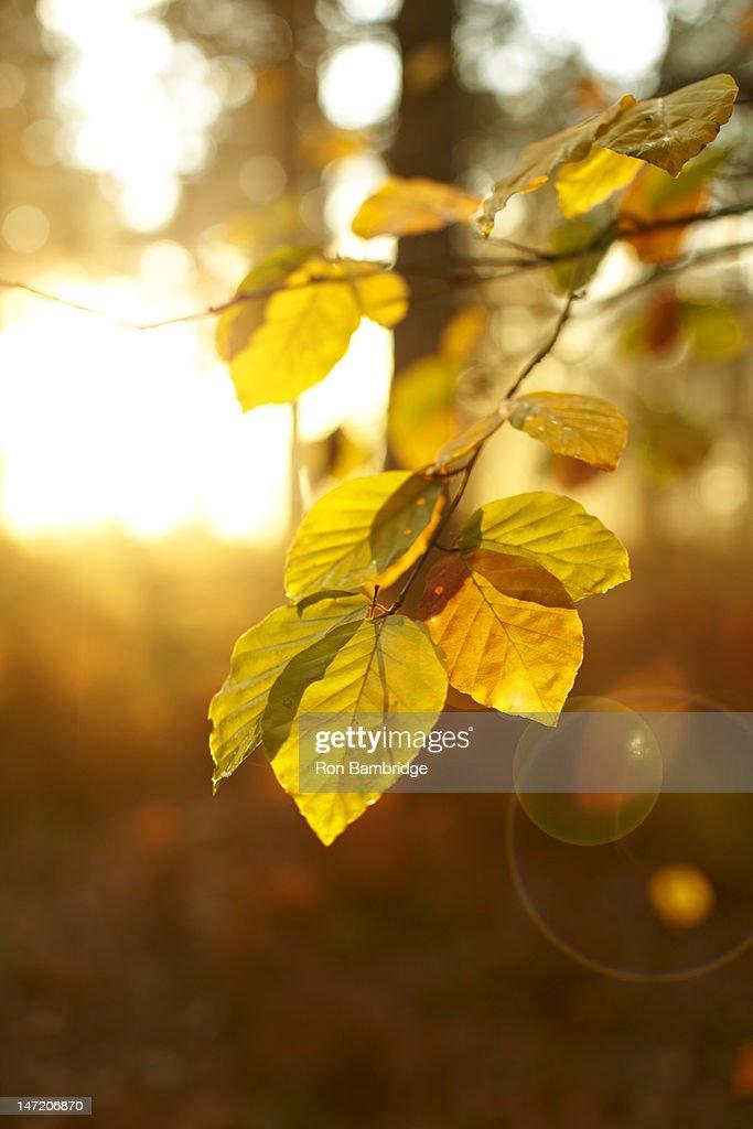 Sun shining on autumn leaves on branch : Stock Photo