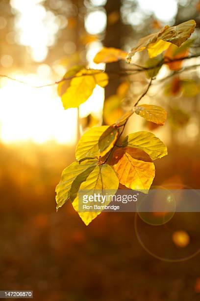 Sun shining on autumn leaves on branch