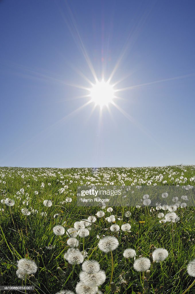 Sun shining over meadow with dandelions : Stock Photo