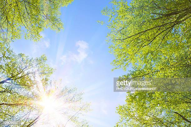 Sun Shining Through Beech Trees