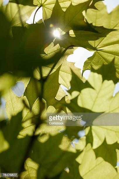 Sun shining through green maple tree leaves