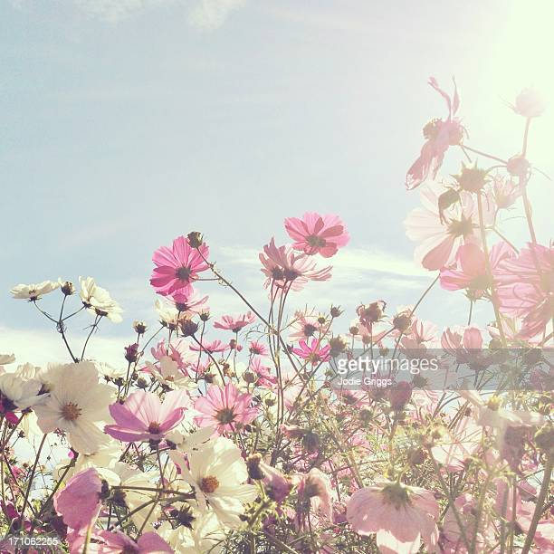 Sun shining through pink and white flowers