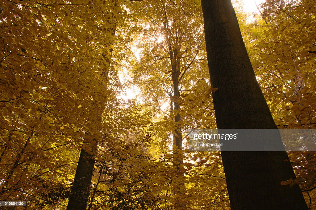 Sun shining through the trees in and english wood : Stock Photo