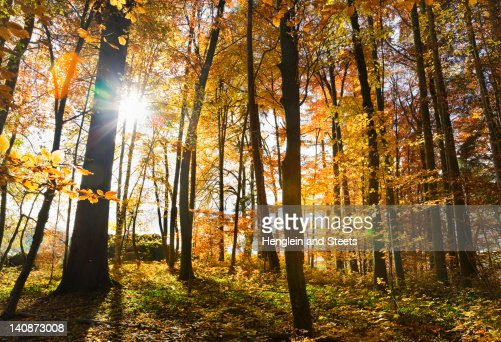 Sun shining through trees in forest : Stock Photo