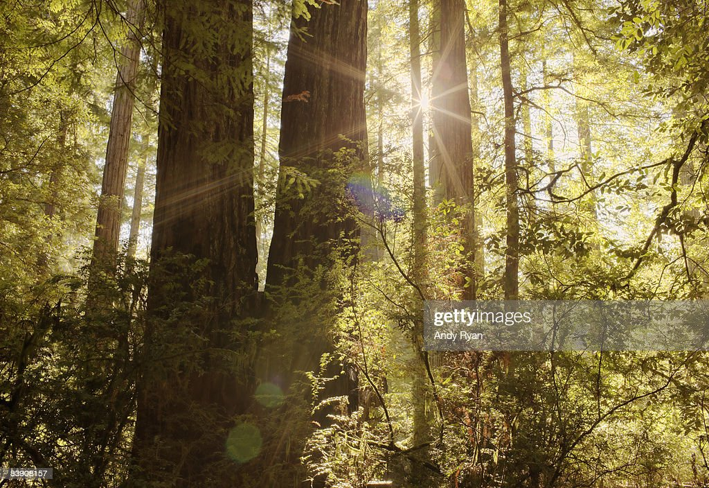 Sun Shining Through Trees in Forest. : Stock Photo