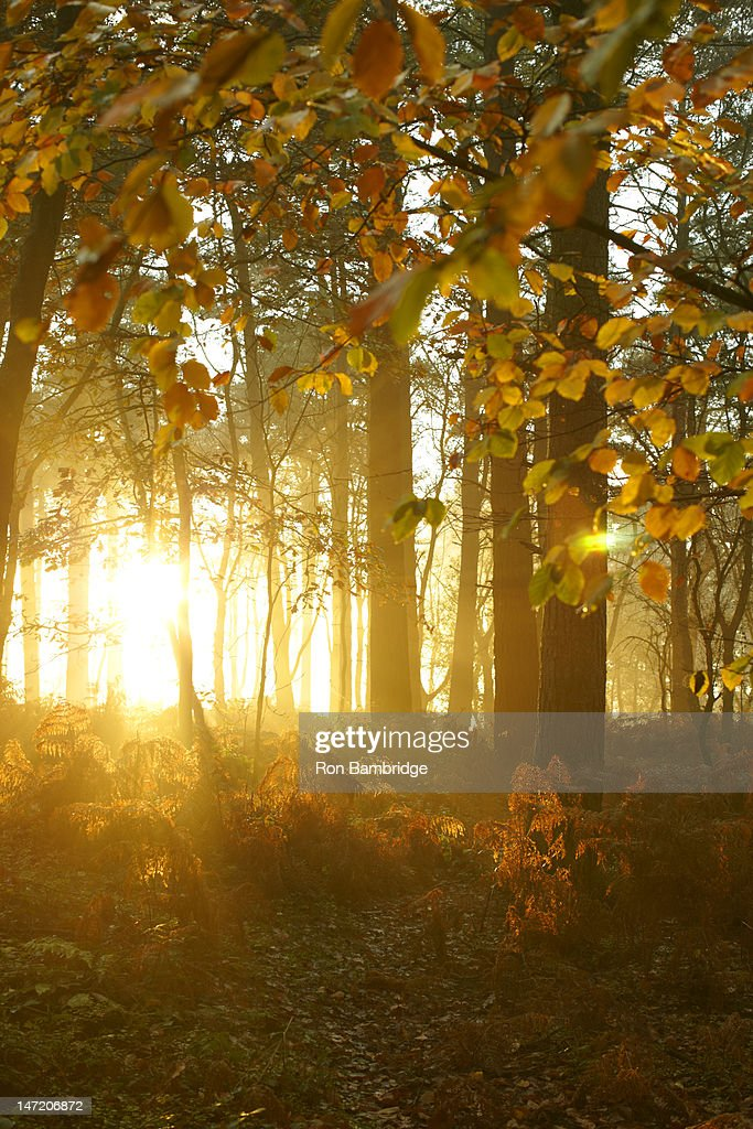 Sun shining through trees with autumn leaves in woods : Stock Photo