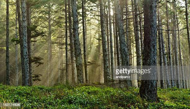 Sole attraverso una foresta di nebbia