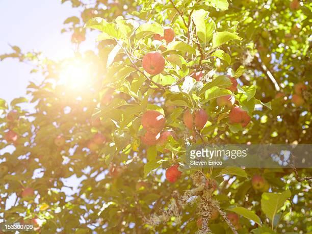 Sun through the branches of an organic apple tree