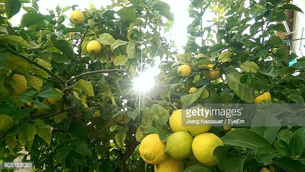 Sunbeam Emitting Through Lemon Tree