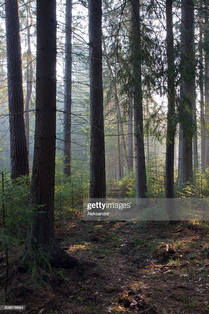 Sunbeam entering rich coniferous forest : Stockfoto