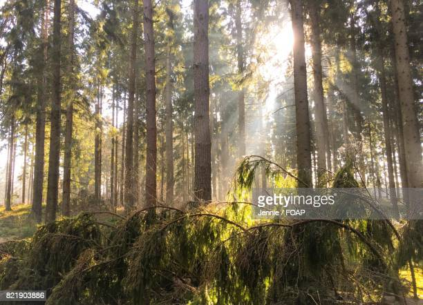Sunbeam through trees in forest