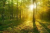 Sunbeams breaking through Beech Tree Forest at Sunrise