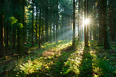 Sunbeams breaking through Spruce Tree Forest at Sunrise, rays of sunlight amongst trees and on forest floor