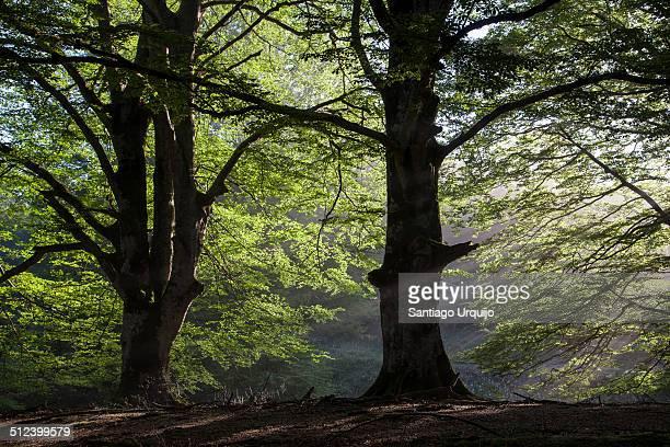 Sunbeams entering through the beech canopy