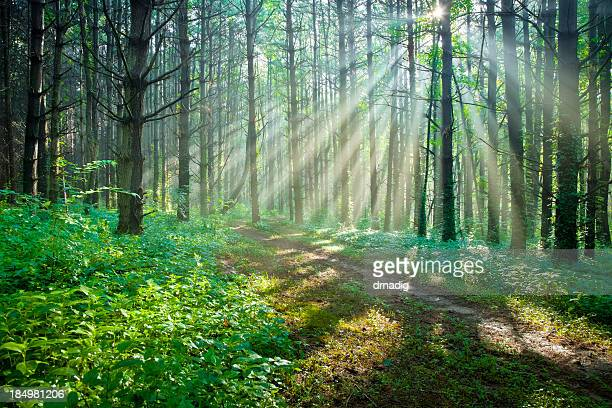 Sunbeams Filtering Through Trees on a Forest Trail