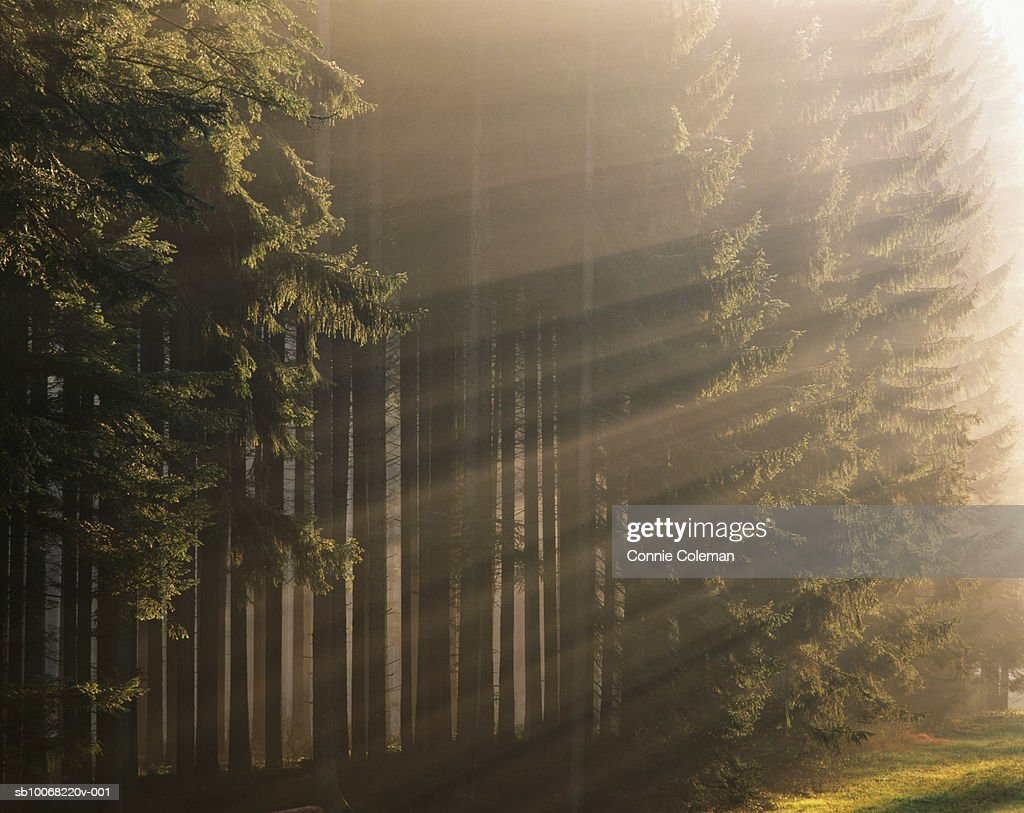 Sunbeams in forest : Stock Photo