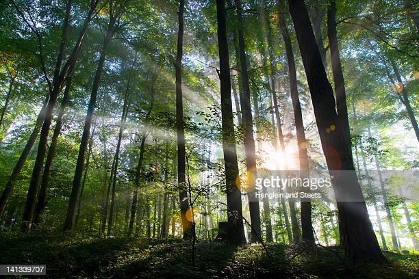 Sunbeams shining through forest
