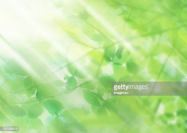Sunbeams shining through young leaves