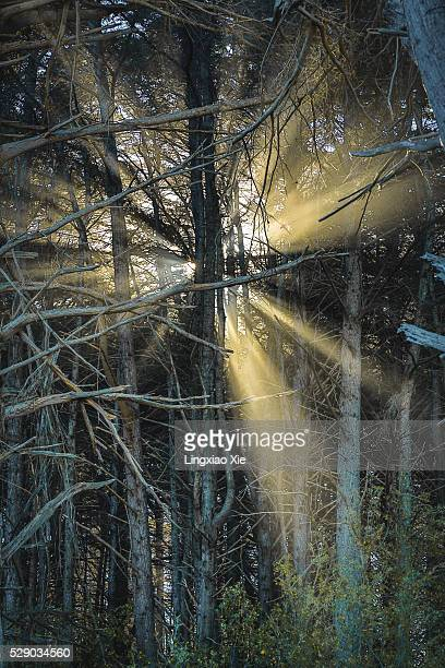 Sunbeams through cypress trees in California