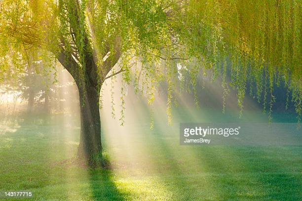 Sonnenstrahlen durch Weide in Morgen Nebel