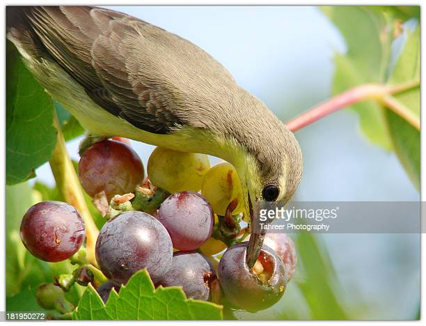 sunbird and grapes