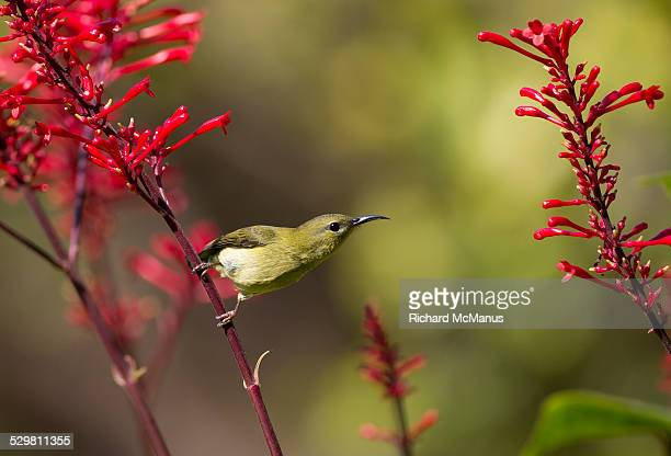 Sunbird considering flying to another flower.