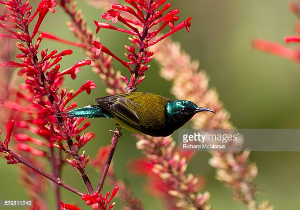 Sunbird on red flower.