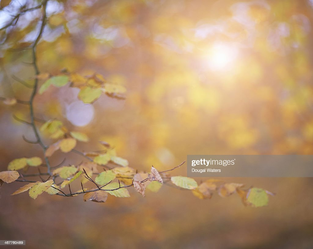 Sunburst through Autumn leaves : Stock Photo