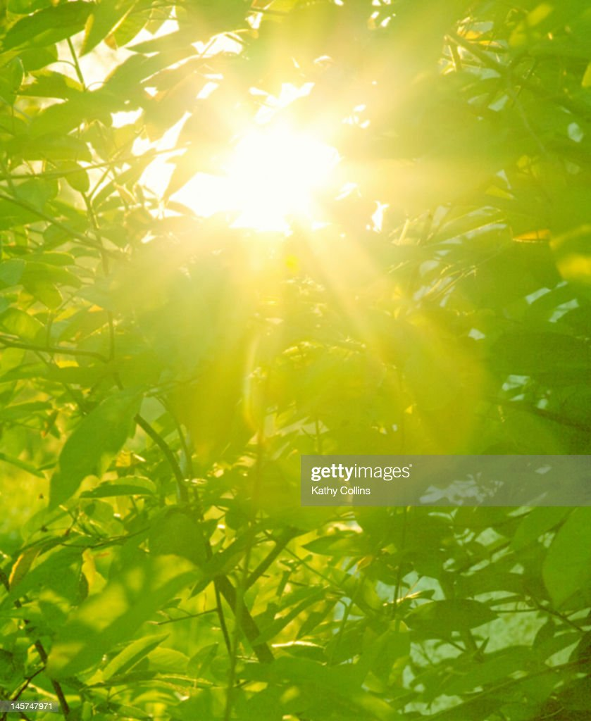 Sunburst through spring branches and green leaves : Stock Photo