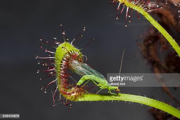 Sundew Carinvorous Plant feeding on Green Lacewing Drosera scorpioides Chrysoperla carnea Munich Bavaria Germany