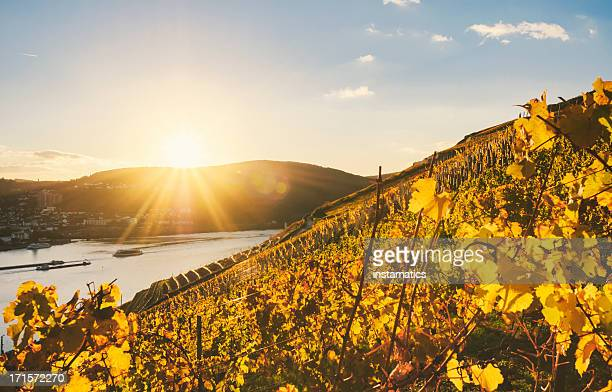 Sundown in an autumnal vineyard beside the Rhine
