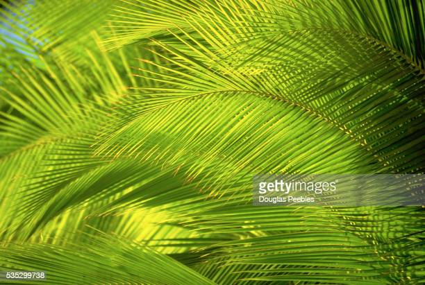 Sun-Drenched Coconut Palm Fronds