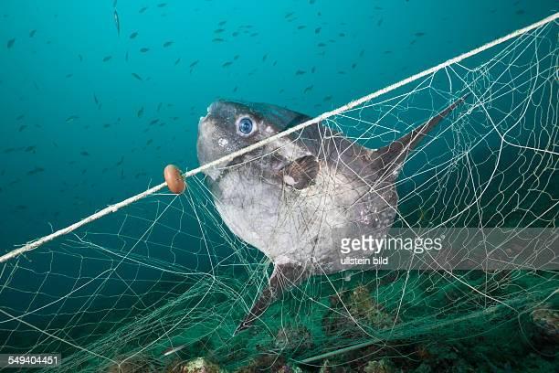 Sunfish trapped in lost Fishing Net Mola mola Cap de Creus Costa Brava Spain