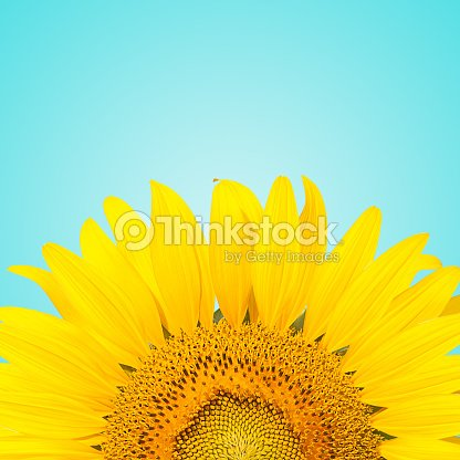 Sunflowe