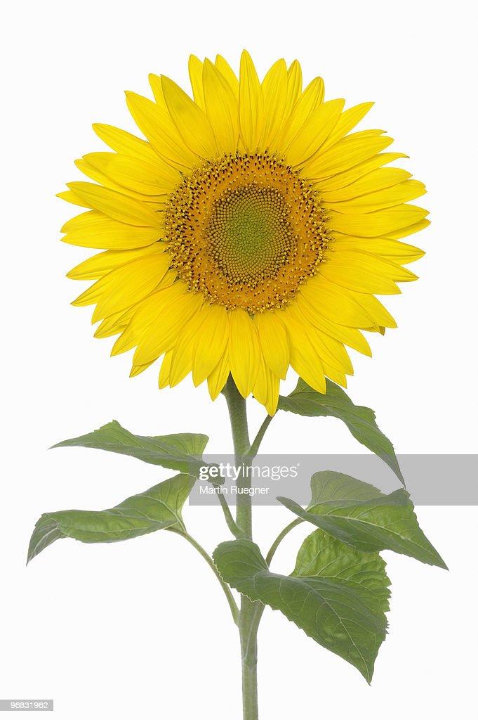 Sunflower against white background : Stock Photo