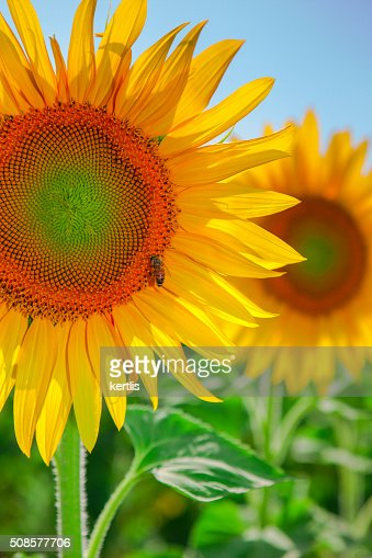 Sunflower and bee on green field (landscape) : Stock Photo