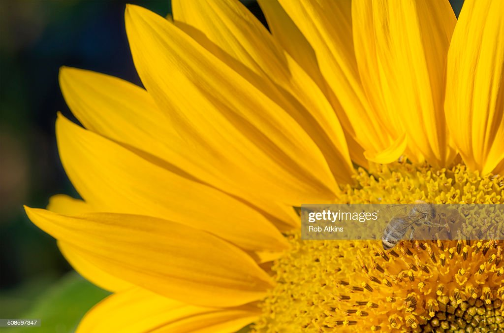 Sunflower and Bee : Stock Photo