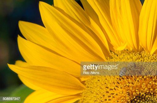 Sunflower and Bee : Foto de stock