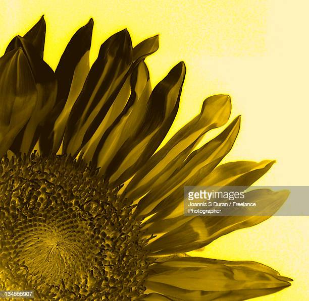 Sunflower and flares of pollen