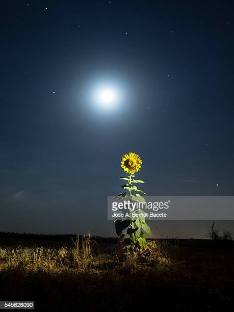 Sunflower and full moon in a field a night of full moon