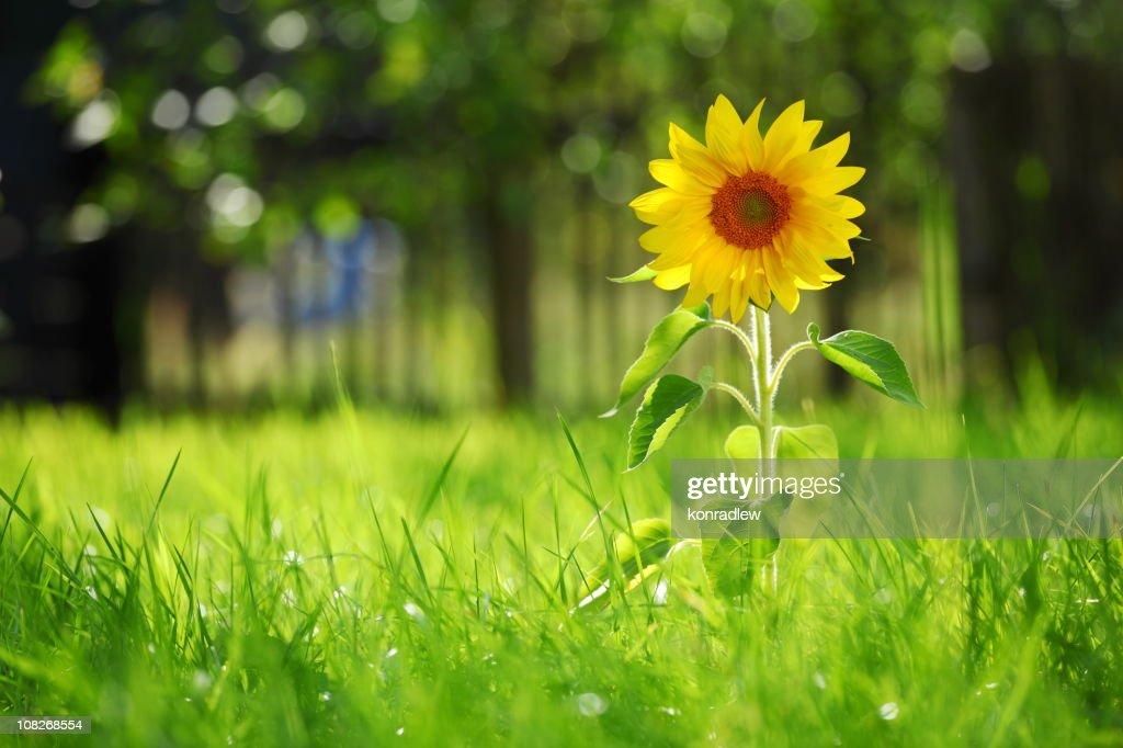 Sunflower and grass : Stock Photo